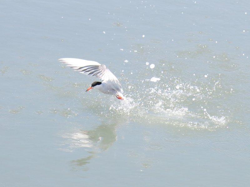 camargue oiseau